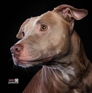 Portraits - Dogs - Phoenix